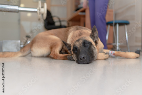 The dog waiting to receive a surgery at the animal clinic Canvas Print