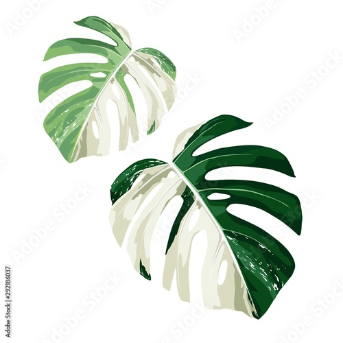 Canvas Prints Floral Tropical Leaf Monstera Plant set isolated on white background.