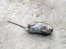 The Corpse Of A Mouse Lies On Concrete. Photo