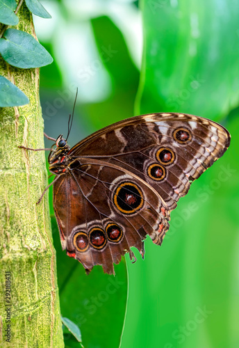 La pose en embrasure Papillon Blue Morpho, Morpho peleides, big butterfly sitting on green leaves, beautiful insect in the nature habitat