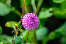 Pom Pom Dahlia In Full Bloom
