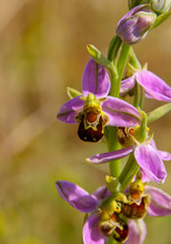 A Beautiful Bee Orchid (Ophrys...