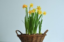 Woven Wooden Basket With Daffo...
