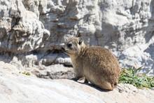 Cape Hyrax (Rock Rabbit, Rock ...