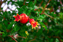 Pomegranate Ripens From A Flower On A Tree Branch. A Few Fruits. Ripening In Clear Sunny Weather.
