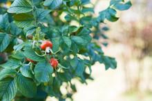 Rose Hips Among Green Leaves C...