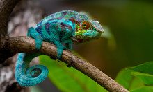 Green Chameleon In The  Jungle