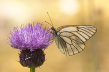 Aporia Crataegi Black Veined White Precious White Butterfly With Black Venation Ridding In Purple Thistle
