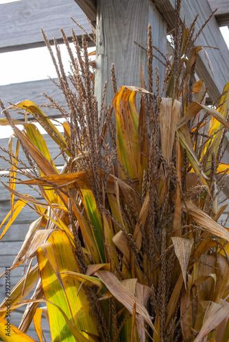 Fotografia, Obraz  corn stalks and weathered wood