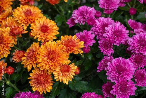 Cuadros en Lienzo orange and purple fall mums