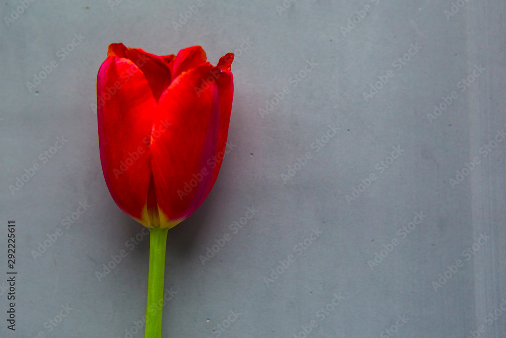 Fototapety, obrazy: Red tulip on gray background, top view. Copy space for your text. Greeting card for Easter, Mother's Day or Women's Day.