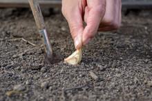Senior Woman Planting Garlic I...