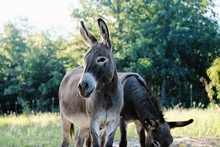 Cute And Alert Mini Donkey In Summer Pasture On Farm.