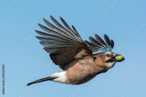 Fotografiet Eurasian jay in the sky,Sweden