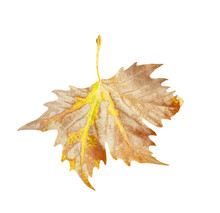 Leaf Of Plane Tree Isolated Fo...