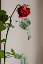 Faded Red Rose Flower On Gray ...