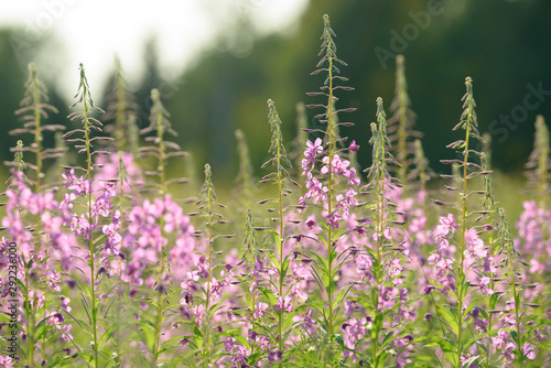 Pink flowers of fireweed (Epilobium or Chamerion angustifolium) in bloom Wallpaper Mural