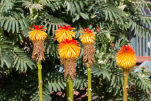 Red Hot Poker Plants
