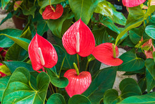Dour Bright Red Anthurium Flowers
