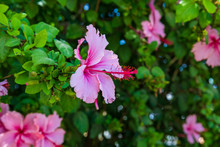 One Pink Hibiscus Flower With ...