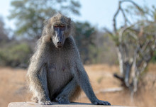 Orange Amber Eyed Baboon In Krueger National Park In South Africa