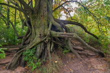 Tree With Extensive Exposed Roots