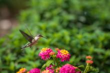 Ruby-throated Hummingbird Near Lantana Flowers
