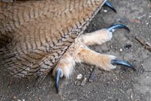 Close Up Eurasian Eagle Owl Fo...