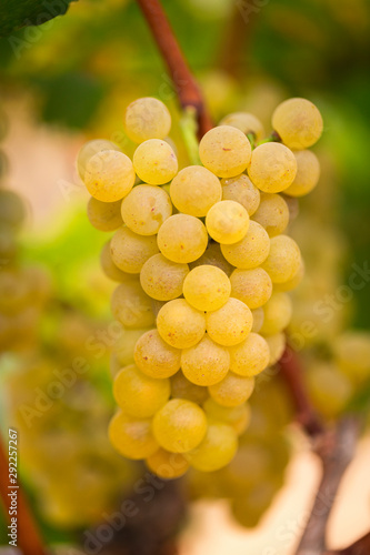 California Chardonnay hanging on the vine ready for harvest.