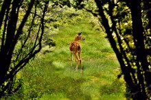 White Tailed Deer Fawn On A Me...