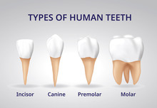 Types Of Human Teeth, Human Bo...