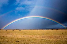 Rainbow Over Field Of Cows In ...