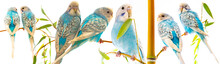 Little Blue Wavy Parrots On Wh...