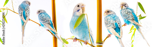 Foto op Plexiglas Vogel blue wavy parrots isolated on a white background