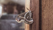 Focused Shot Of A Brown Moth Resting On A Wooden Door With Blurred Background