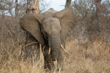 Young Female Elephant Scratching Behind Her Ear On A Large Tree