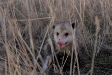 Possum In The Grass In Kansas Outdoor.