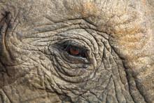 Close Up Of An Elephant Eye Showing The Eyelashes