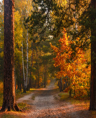 Fototapeta Las Autumn forest. Trees are painted with magnificent autumn colors. Morning. The sun's rays play in the branches.