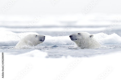Deurstickers Ijsbeer Polar bear dancing on the ice. Two Polar bears love on drifting ice with snow, white animals in the nature habitat, Svalbard, Norway. Animals playing in snow, Arctic wildlife. Funny image from nature.