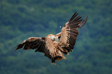 Vulture Fight In Nature. Griff...