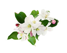 Flowers And Leaves Of Apple Tree