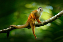 Monkey, Long Tail In Tropic Fo...