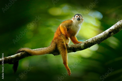 Monkey, long tail in tropic forest. Squirrel monkey, Saimiri oerstedii, sitting on the tree trunk with green leaves, Corcovado NP, Costa Rica. Monkey in the tropic forest vegetation. Wildlife nature.