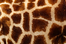 Detail Of Spotted Fur Coat Of Giraffe. Beautiful Close-up Detail From Nature. Evening Light Tshukudu Near Kruger NP, South Africa. Fur Of Big Orange Animal.