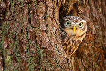 Owl Hidden In Tree Nest Hole In The Forest. Little Owl, Athene Noctua, Bird In The Nature Habitat, With Yellow Eyes, Germany. Wildlife Scene From Nature. Tree Trunk With Bird.
