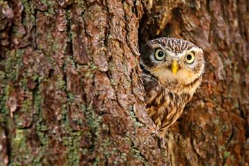 Sova skrivena u rupi gnijezda na drvetu u šumi. Mala sova, Athene noctua, ptica u prirodnom staništu, žutih očiju, Njemačka. Prizor divljine iz prirode. Deblo stabla s pticom.