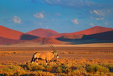Fototapeta Sawanna - Oryx with orange sand dune evening sunset. Gemsbok , Oryx gazella, large antelope in nature habitat, Sossusvlei, Namibia. Wild animals in the savannah. Animal with big straight antler horn.