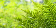 Ferns Leaves, Green Foliage Na...