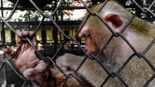 Monkey With Sad Expression In A Cage.